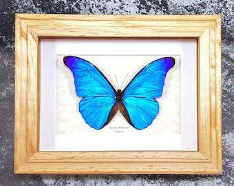Real Framed Morpho rhetenor or The Rhetenor Blue Morpho Butterfly Taxidermy A1-/A- #65