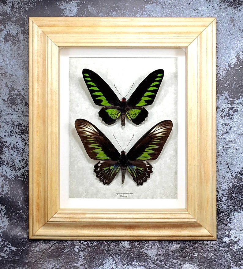 REAL GREEN PEARL MOTH CHINENSIS BUTTERFLY TAXIDERMY INSECT SHADOW BOX