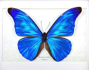 Framed Morpho rhetenor or The Rhetenor Blue Morpho Butterfly Taxidermy  A1-/A- #69