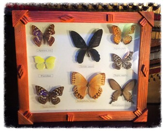 Framed Butterfly Collection. Preserved Butterflies.