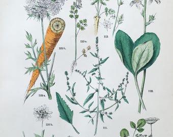 1883 Original Antique Lithograph, Botanical Lithograph, Botanical wall decor, Antique print Carrot, Botanical Illustration carrot wall art