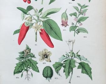 1883 Original Antique Lithograph, Botanical Lithograph, Botanical wall decor, Antique print Chili Pepper, Botanical Illustration Jimsonweed