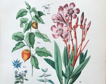 1883 Original Antique Lithograph, Botanical Lithograph, Botanical wall decor, Antique print Physalis, Botanical Illustration Oleander