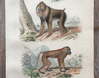 1870 Animals Original Antique Engraving, Hand Colored Engraving, Animals engraving, Animals art, Antique animals print, Antique monkey print