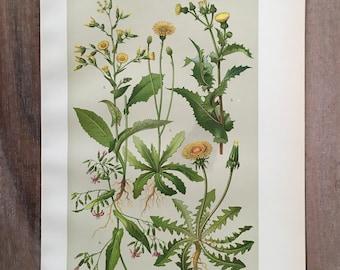 Oude Botanische Prenten : Oude botanische print etsy