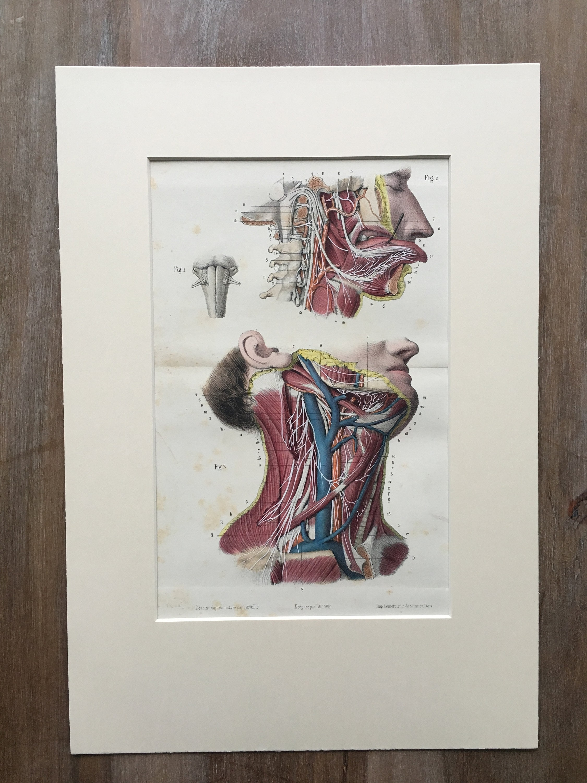 1866 original Lithographie Anatomie druckt anatomische Antik   Etsy