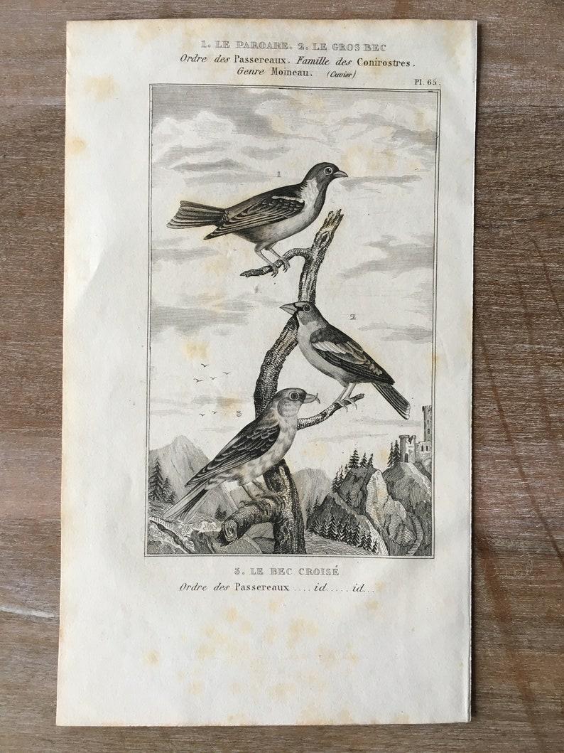 1835 Original Antique Lithograph set of 4 Eurasian siskin House sparrow Paroaria Print Cardinal Bird Print Old print Red crossbill