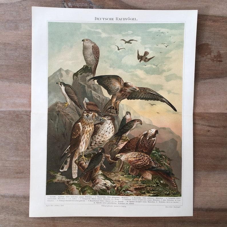 buzzard Antique Bird Print greed hawk Print tree falcon Peregrine falcon German raptor Print 1895 Original Antique Chromolithograph