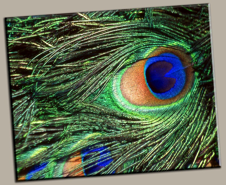 Peacock Feather Gallery Wrap Canvas Photo Print Fine Wall Art image 0
