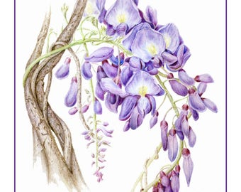 Wisteria Cards and Prints from Original Botanical Painting