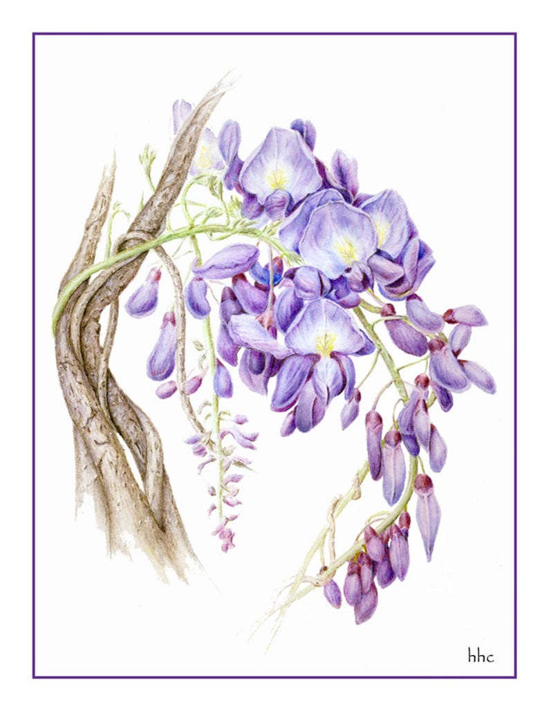 Wisteria Cards and Prints from Original Botanical Painting image 0