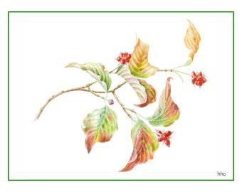 Fall Dogwood Cards & Prints from Original Botanical Painting