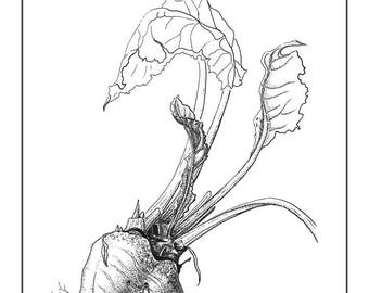 Beet Cards and Prints from Original Ink Drawing