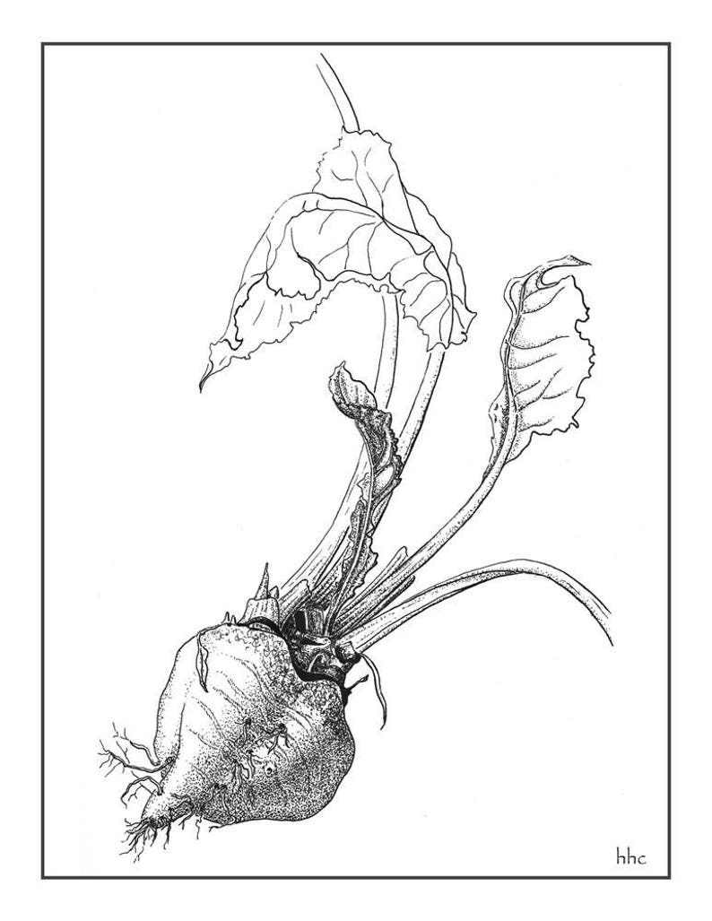 Beet Cards and Prints from Original Ink Drawing image 0