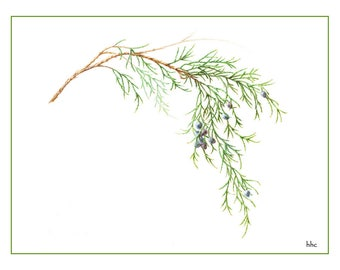 Eastern Red Cedar Cards & Prints from Original Botanical Painting
