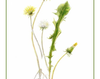 Dandelion cards and prints from mixed media original by botanical artist Helen H. Conrad. Prints also available.