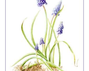 Grape Hyacinth Cards and Prints from Original Botanical Painting