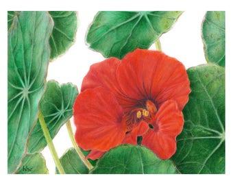Nasturtium Cards & Prints from Original Botanical Painting