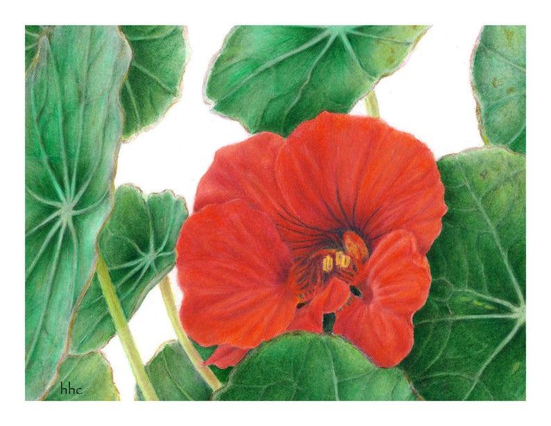 Nasturtium Cards & Prints from Original Botanical Painting image 0