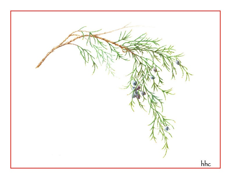 Eastern Red Cedar Holiday Card from Original Watercolor image 0