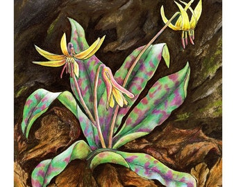 Trout Lily Cards & Prints from Original Painting