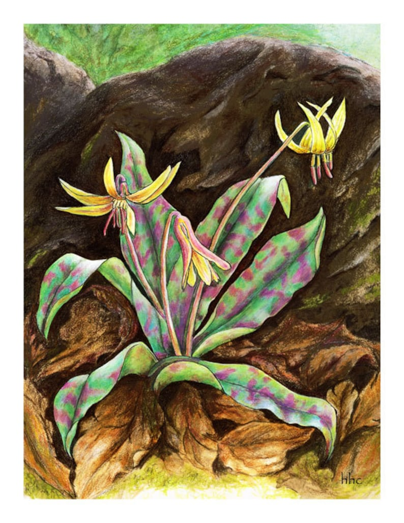 Trout Lily Cards & Prints from Original Painting image 0