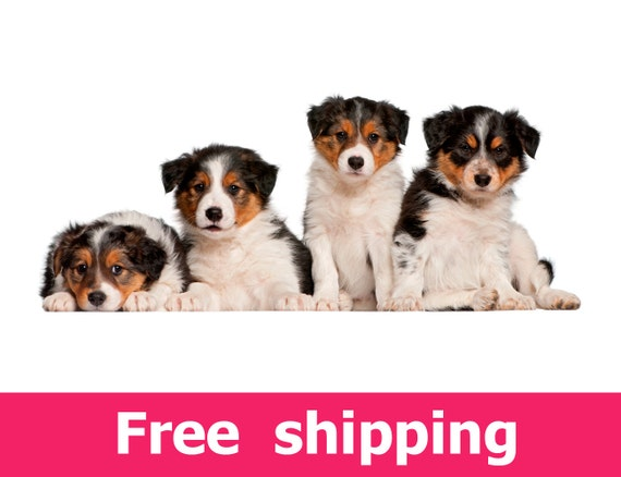 Border Collie Puppies Wall Sticker Dog Wall Decal Dog Wall Etsy