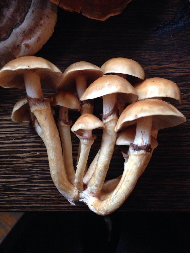 Nameko Mushroom Grow Kit/Sawdust Spawn, Pholiota nameko, DIY Mushroom  Cultivation, Permaculture, Agroforestry, Mycelium, Log Cultivation