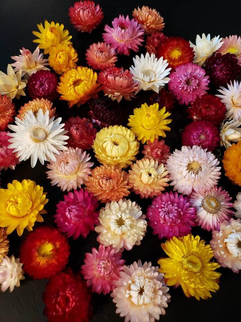 50 Dried Strawflower Heads in tones of pink yellow orange image 0