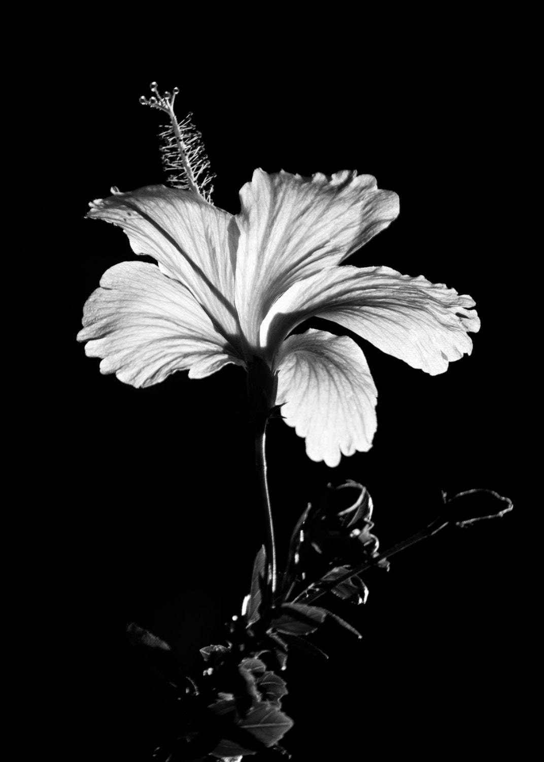 Black and white hibiscus flower photography floral nature 8x10 etsy 50 izmirmasajfo