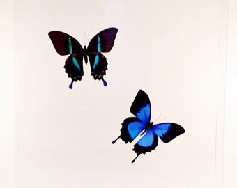 """Real Indonesian ulysses and blumei butterflies mounted in a 13"""" x 13"""" x 2"""" clear acrylic case."""