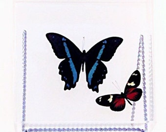 """Papilio bromius bromius butterfly from Africa with an accent Heliconius doris eratonius butterfly in a 7"""" x 7"""" x 2"""" clear acrylic display."""