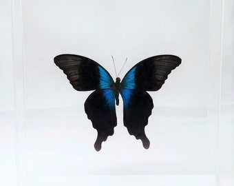 """Real Indonesian Papilio peranthus mounted in a 7"""" x 7"""" x 2"""" clear acrylic case."""