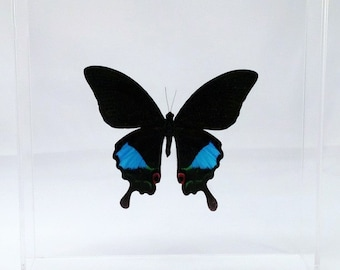 """Real Papilio paris butterfly from Indonesia mounted in a clear acrylic 7"""" x 7"""" x 2"""" case."""