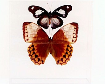 """Two Brown Boys Butterfly Display In a 7"""" x 7"""" x 2"""" clear acrylic display"""