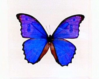 """Real Peruvian Morpho didius butterfly in a clear 7"""" x 7"""" x 2"""" acrylic case."""