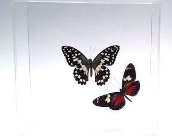 "Papilio demoleus malayanus with accent Heliconius doris eratonius real butterflies in a 7"" x 7"" x 2"" acrylic display."