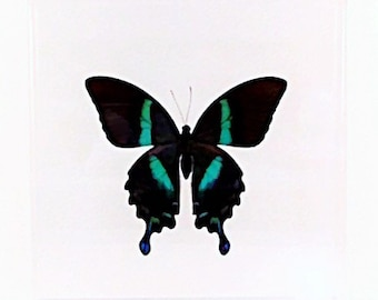 """Real Indonesian Papilio blumei butterfly mounted in a 7"""" x 7"""" x  2"""" clear acrylic case."""