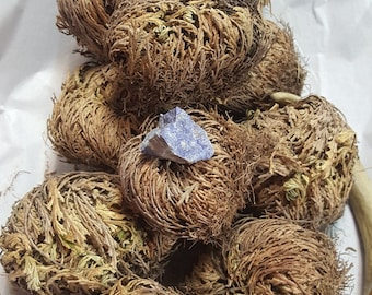 Rose of Jericho - Set of TEN - Resurrection Flower - Fern - Selaginella lepidophylla - Live plant bulb