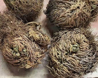 Rose of Jericho - Set of FOUR - Resurrection Flower - Fern - Selaginella lepidophylla - Live plant bulb