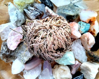Rose of Jericho - Resurrection Flower - Fern - Selaginella lepidophylla - Live plant bulb
