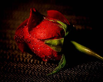 Dew Drops on Red Rose of Love