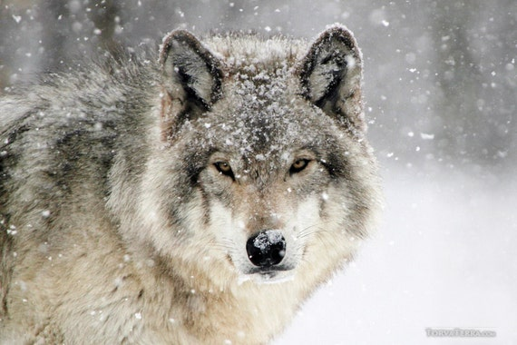 wolf in snow winter blizzard northern timber wolves wall. Black Bedroom Furniture Sets. Home Design Ideas