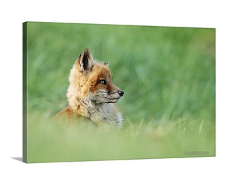 Canvas Print of Red Fox Kit in Spring Grass Cute Baby Animals Kids Wall Decor Ideas - Wildlife Photography