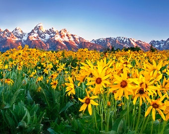 Grand Tetons Wildflowers at Sunrise Spring Mountains Yellow Flowers Meadow Wide Panoramic Paper Print - Landscape Travel Photography