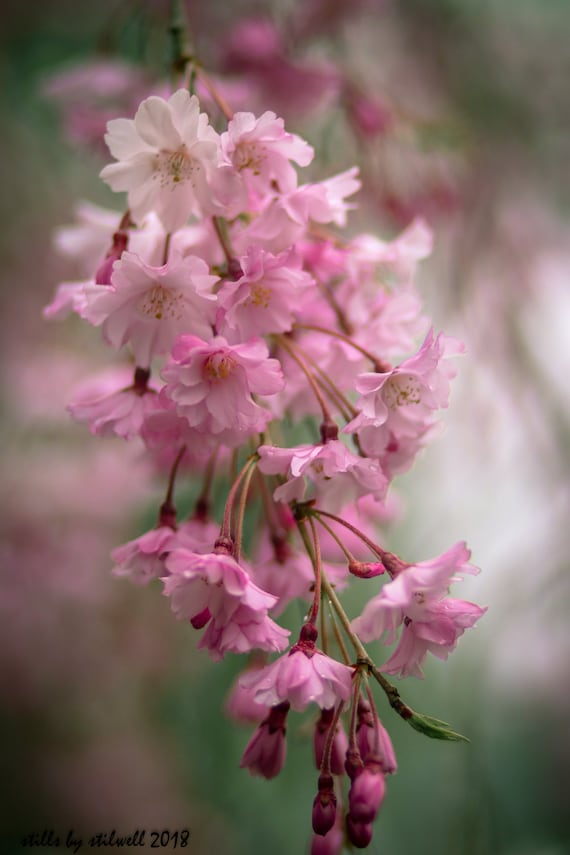 Cherry Blossomspink Weeping Cherry Tree Blossomspink And Etsy