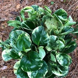 Wishlist Plants By Theplantchica On Etsy
