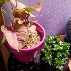 "Live House Plant 4/"" Pot FREE Care Guide Black Goldfish Plant"