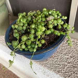 Large String of Pearls Succulent-Senecio Rowleyanus photo