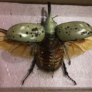 Real Arizona Dynastes Granti Hercules Beetle Wings Spread Mounted Pinned